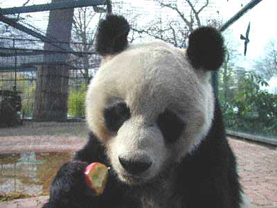 Bao Bao - Zoo Berlin